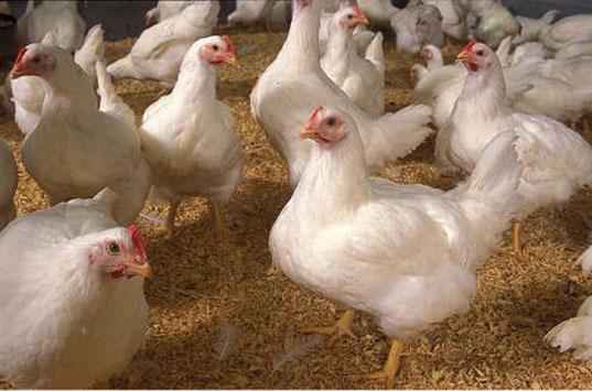 Eat Turkey, Save A Chicken!